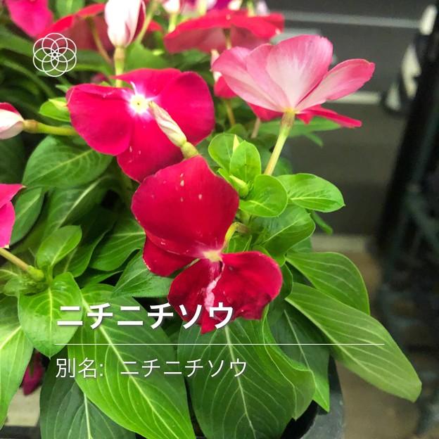花判別アプリ「ハナノナ」で判定:ニチニチソウ