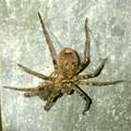 Photos: 何か昆虫を捕まえてたコアシダカグモ - 1