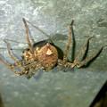 Photos: 何か昆虫を捕まえてたコアシダカグモ - 2