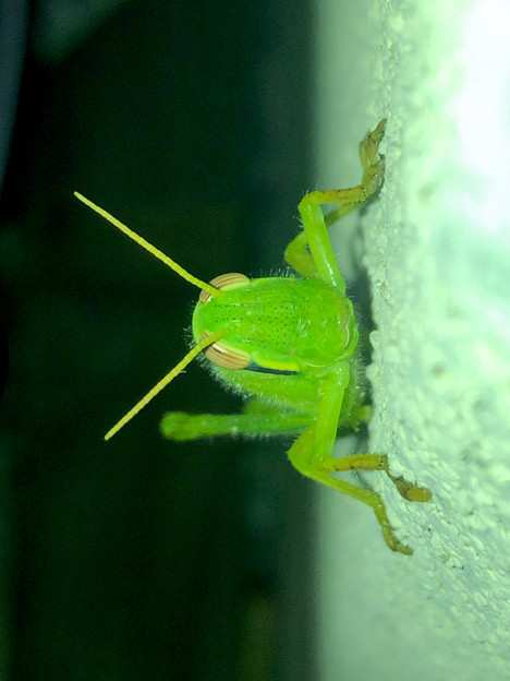 もうすぐ成虫?…な、ツチイナゴの幼虫 - 6