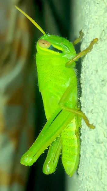 もうすぐ成虫?…な、ツチイナゴの幼虫 - 8
