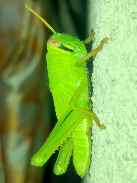 もうすぐ成虫?…な、ツチイナゴの幼虫 - 10