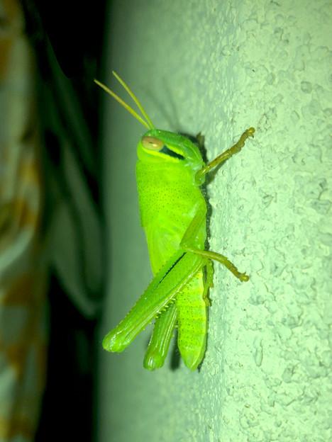 もうすぐ成虫?…な、ツチイナゴの幼虫 - 1