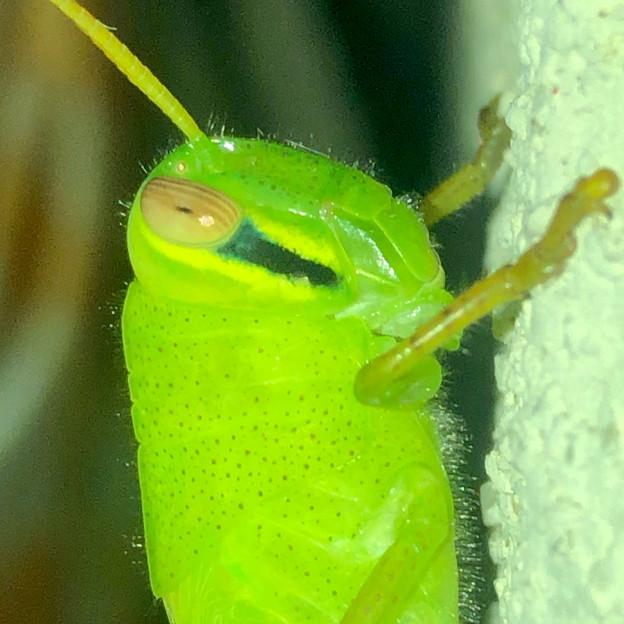 もうすぐ成虫?…な、ツチイナゴの幼虫 - 11
