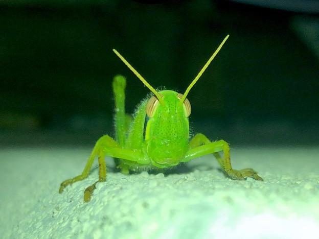 正面から見たツチイナゴの幼虫の顔(頭) - 1