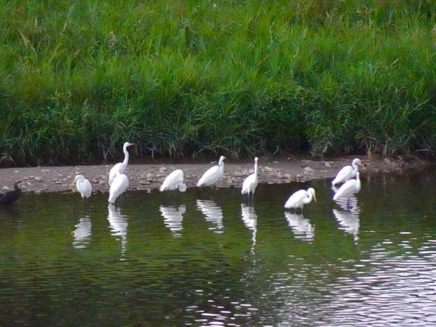庄内川沿いに集まってたシラサギ(吉根橋から撮影) - 3