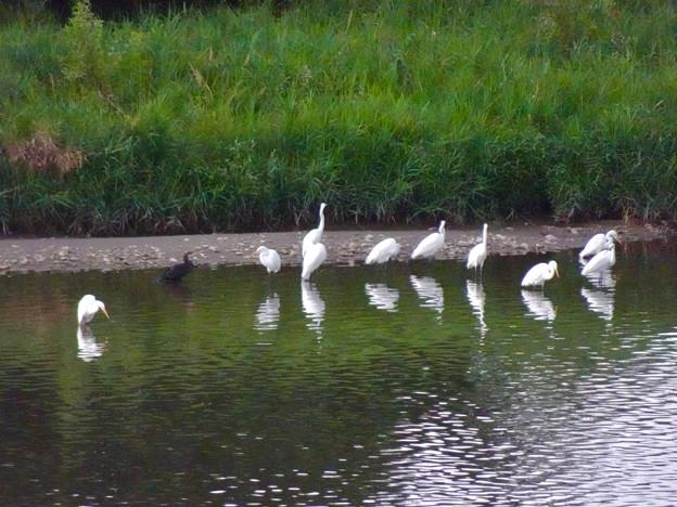 庄内川沿いに集まってたシラサギ(吉根橋から撮影) - 4