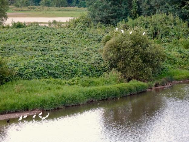 庄内川沿いに集まってたシラサギ(吉根橋から撮影) - 5:木の上にもいたシラサギ