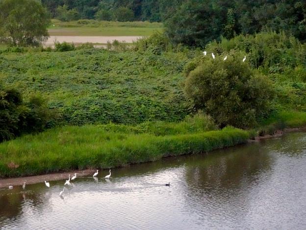 庄内川沿いに集まってたシラサギ(吉根橋から撮影) - 6:木の上にもいたシラサギ