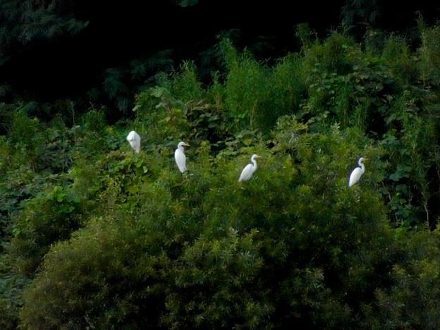 庄内川沿いに集まってたシラサギ(吉根橋から撮影) - 7:木の上にもいたシラサギ