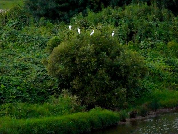 庄内川沿いに集まってたシラサギ(吉根橋から撮影) - 8:木の上にもいたシラサギ