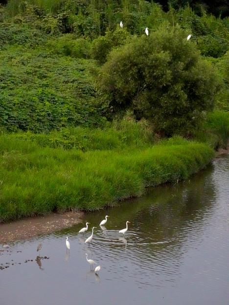 庄内川沿いに集まってたシラサギ(吉根橋から撮影) - 10