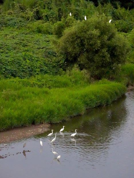 庄内川沿いに集まってたシラサギ(吉根橋から撮影) - 11