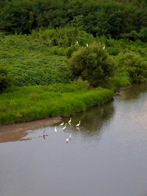 庄内川沿いに集まってたシラサギ(吉根橋から撮影) - 9
