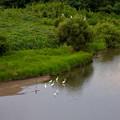 Photos: 庄内川沿いに集まってたシラサギ(吉根橋から撮影) - 9