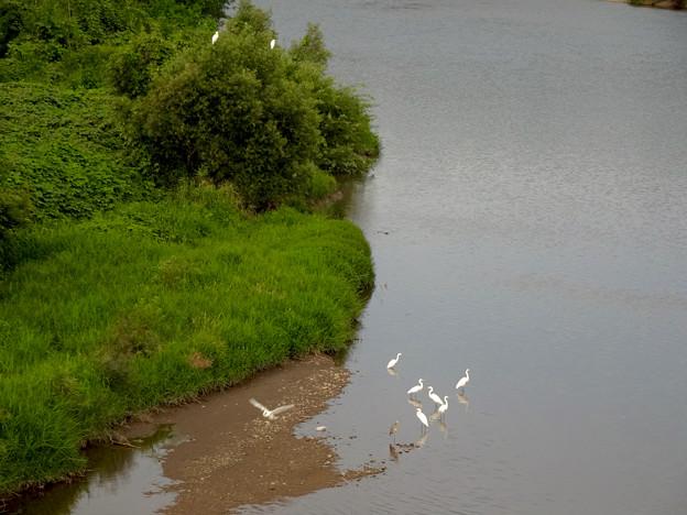 庄内川沿いに集まってたシラサギ(吉根橋から撮影) - 12