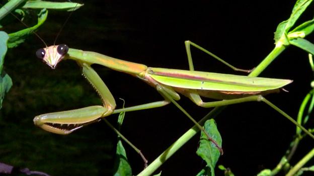 闇夜の草むらにいた黒い目をした可愛らしいカマキリ - 21