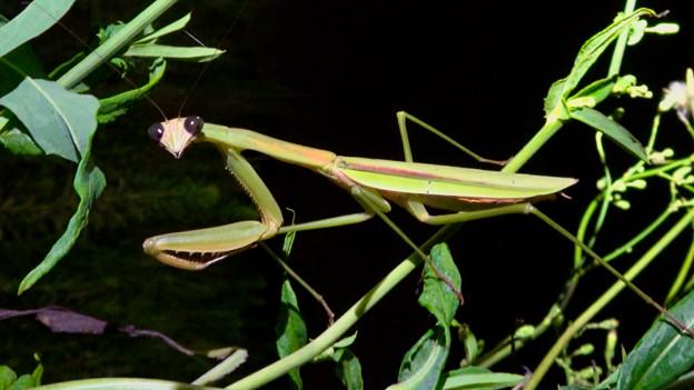 闇夜の草むらにいた黒い目をした可愛らしいカマキリ - 22