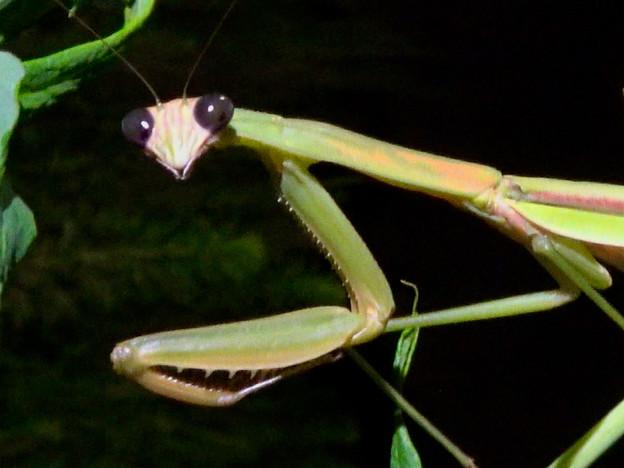 闇夜の草むらにいた黒い目をした可愛らしいカマキリ - 23