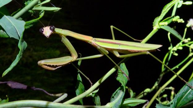 闇夜の草むらにいた黒い目をした可愛らしいカマキリ - 25