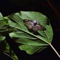 Photos: 夜、葉っぱの裏に隠れていた蛾 - 1