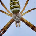 Photos: 空に浮いてるように撮れたナガコガネグモ - 2