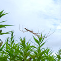 Photos: 草原にいたユウレイグモ - 1
