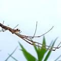 Photos: 草原にいたユウレイグモ - 2