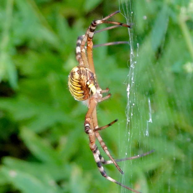 草原に巣を張っていたナガコガネグモ - 8