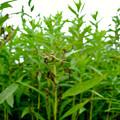 Photos: 草原にいたユウレイグモ - 5
