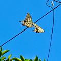 Photos: 2匹一緒に飛んでたアゲハチョウ(ナミアゲハ) - 1