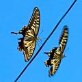 Photos: 2匹一緒に飛んでたアゲハチョウ(ナミアゲハ) - 2