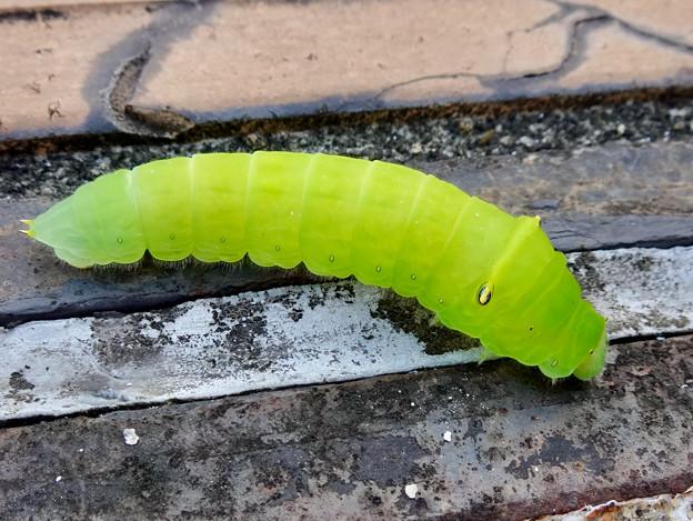 アオスジアゲハの幼虫 - 3
