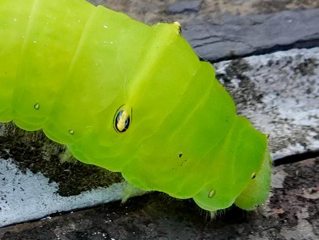 アオスジアゲハの幼虫 - 5