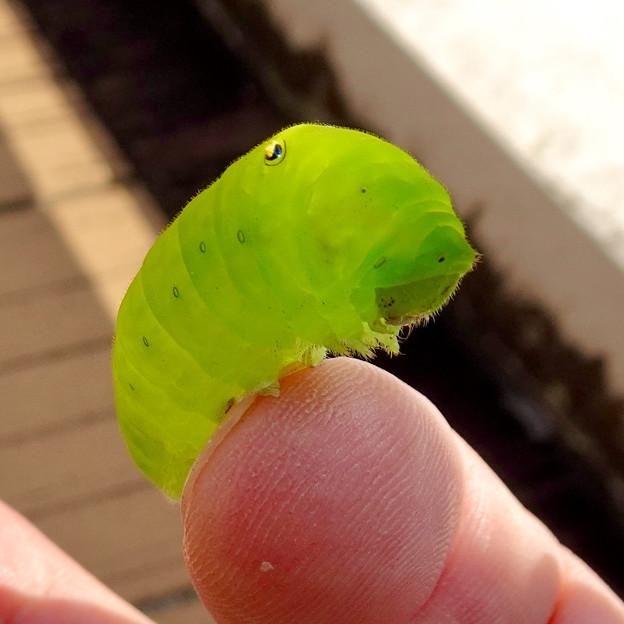 アオスジアゲハの幼虫 - 9