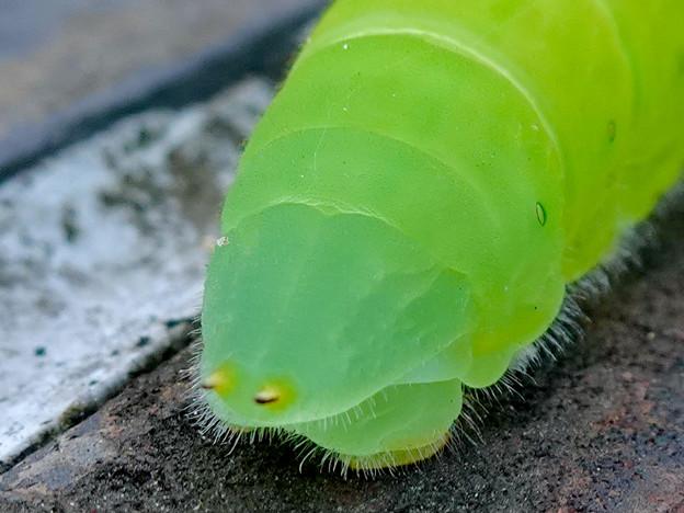 アオスジアゲハの幼虫 - 14
