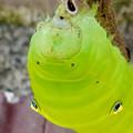 アオスジアゲハの幼虫 - 23