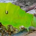 アオスジアゲハの幼虫 - 8