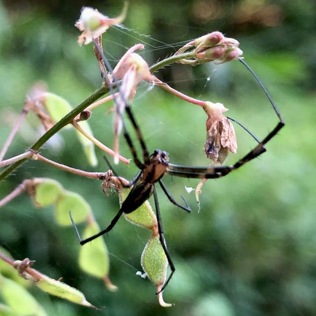 黒と薄オレンジ色の蜘蛛 - 3