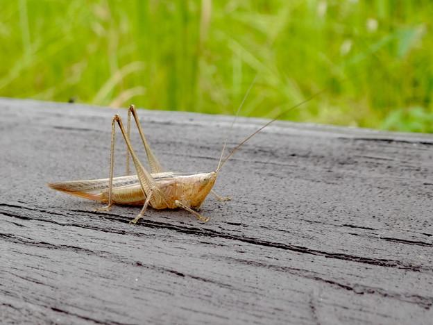Photos: 非常に触角が長い、オナガササキリの幼虫(オス)? - 1