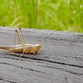 非常に触角が長い、オナガササキリの幼虫(オス)? - 1