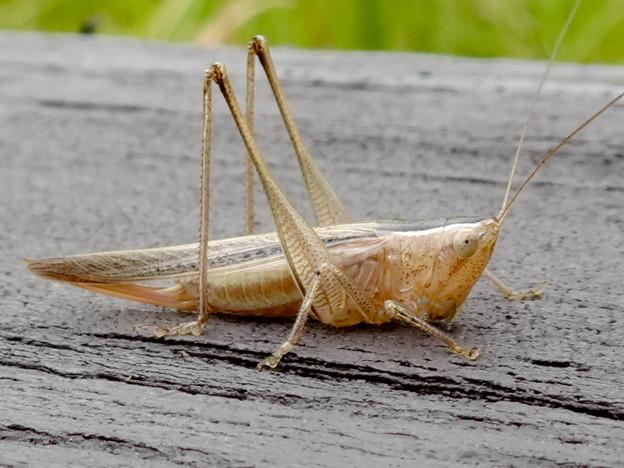 Photos: 非常に触角が長い、オナガササキリの幼虫(オス)? - 2