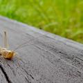 Photos: 非常に触角が長い、オナガササキリの幼虫(オス)? - 3