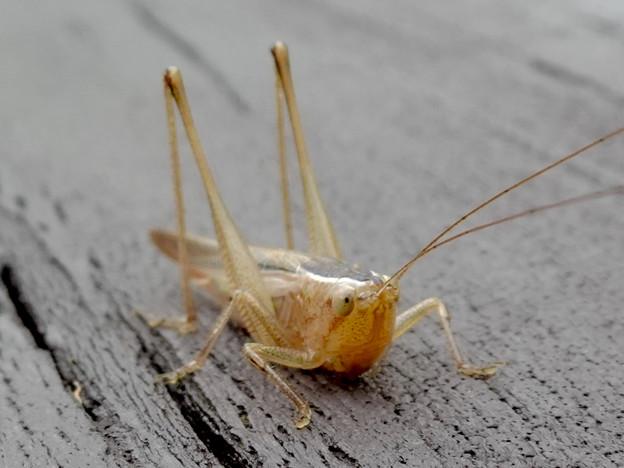 Photos: 非常に触角が長い、オナガササキリの幼虫(オス)? - 4