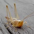 非常に触角が長い、オナガササキリの幼虫(オス)? - 4