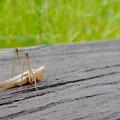 Photos: 非常に触角が長い、オナガササキリの幼虫(オス)? - 5