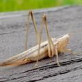 Photos: 非常に触角が長い、オナガササキリの幼虫(オス)? - 6
