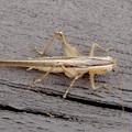 Photos: 非常に触角が長い、オナガササキリの幼虫(オス)? - 7