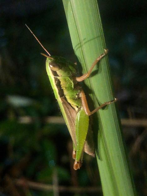 Photos: 夜草の上で寝てた?コバネイナゴ