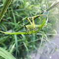 Photos: ちょっと変わった姿勢で草を食べてた?ツチイナゴの幼虫 - 1